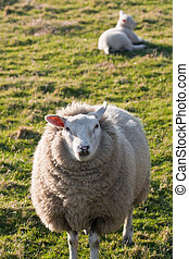 Texel sheep with lamb on grass field - Texel sheep with lamb...