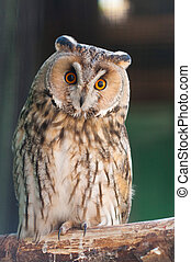 asio otus - Long-eared Owl is sitting on branch in zoo