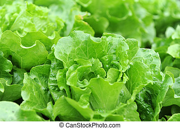 Fresh salad lettuce