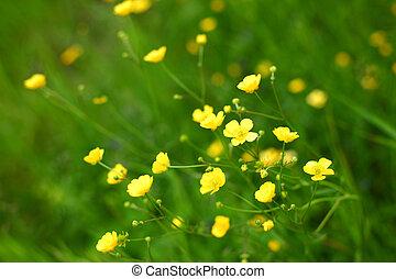 buttercup on green grass field