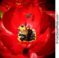 Bee and big tulip - Bee and big red tulip. Nature scene.