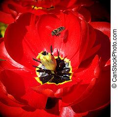 蜜蜂, 大, 郁金香
