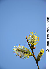 Close-up of pussy-willow