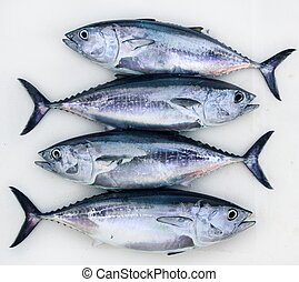 bluefin four tuna fish Thunnus thynnus catch row - bluefin...
