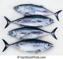 bluefin four tuna fish Thunnus thynnus catch row - bluefin...
