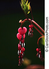 Dicentra - Heart-shaped flower