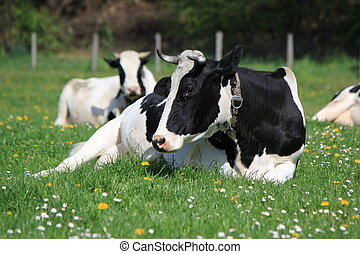 Cows of Fribourg canton, Switzerland, - Black and white...