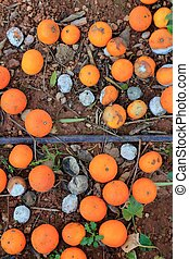 Rotten oranges fallen in floor market price is lower than...