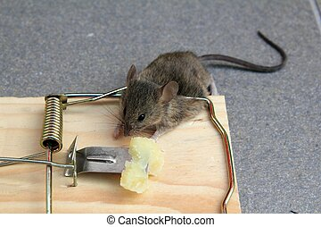 Mouse trap with real mouse catched with cheese - Mouse trap...