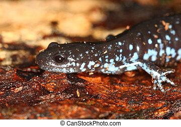 blue-spotted, salamandra,  laterale),  (ambystoma