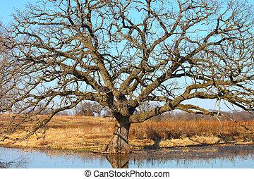 Bur Oak (Quercus macrocarpa) - Very Old Bur Oak (Quercus...