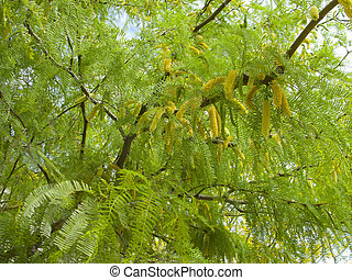 Blossoms of Mesquite - Mesquite tree leafy crone with...