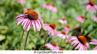 lazy eyed susan Flowers - lazy eyed susans