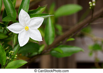 White Potato Vine flower - Single white and yellow potato...