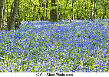 Warm golden light in Spring bluebell woods - Beautiful warm...