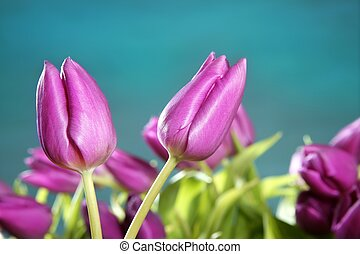 tulips pink flowers blue green studio shot background