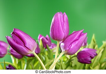 tulips pink flowers vivid green background studio shot
