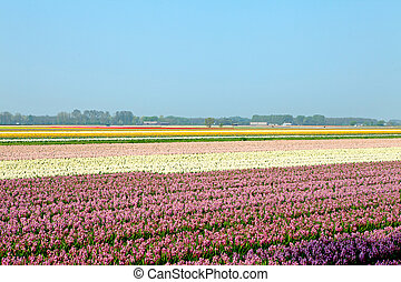 Dutch bulb field of pink and colorful hyacinths