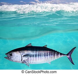 Bluefin tuna fish Thunnus thynnus underwater swimming in sea
