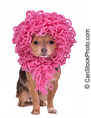 Chihuahua puppy wearing funny pink wig isolated