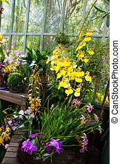 Yellow Orchids in Hot House - Yellow orchids hanging in a...