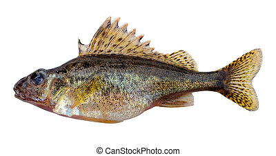 The Eurasian Ruffe (Gymnocephalus cernuus) or simply Ruffe...