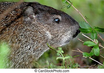 Woodchuck - Close up head shot of a woodchuck