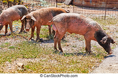 Boars looking for food. Showing their genitals ;-)