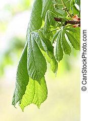 Horse chestnut tree leaf Aesculus hippocastanum