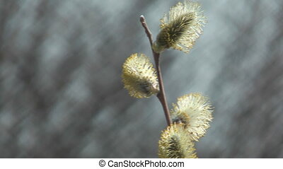 Pussywillows. - Willow branches with buds on the blurred...