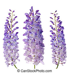 Wisteria flowers - Purple wisteria flowers isolated on white...