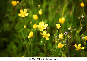 buttercup on green grass field