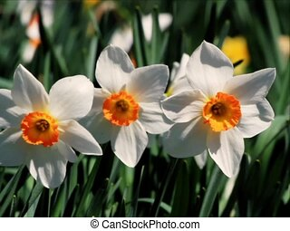 Three Daffodils - Three daffodils with white petals and...