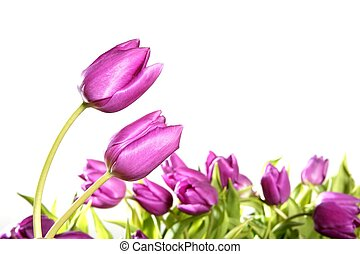 tulips pink flowers isolated on white background studio shot