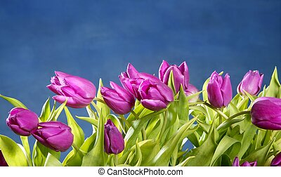 tulips pink flowers on blue studio background - tulips pink...