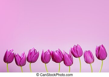 pink tulips flowers in a row group line arrangement on pink...