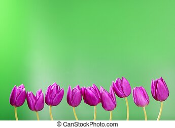 pink tulips flowers in a row group line arrangement on green...