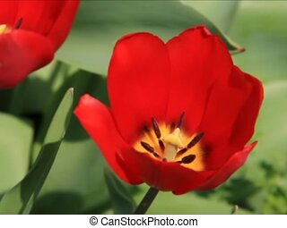 Rd Tulip Sways in Breeze - sd - A brilliant red tulip with...