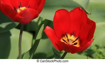 Red Tulip Sways in Breeze - wide - A brilliant red tulip...