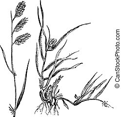 Bouteloua dactyloides or Buffalograss, grass, (left) male, (right) female, vintage engraving.