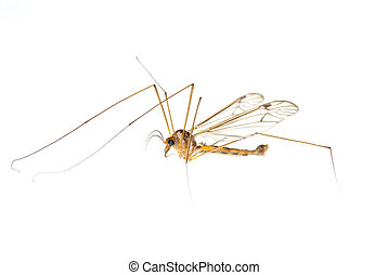 crane fly daddy - insect crane fly daddy longlegs