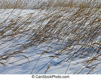 Reeds in winter snow