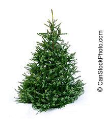 giovane, verde, abete, albero, neve