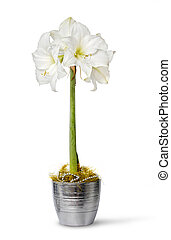 White amaryllis in pot - White amaryllis flower in pot...