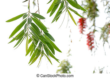 Red bottle brush tree leaf branch isolate