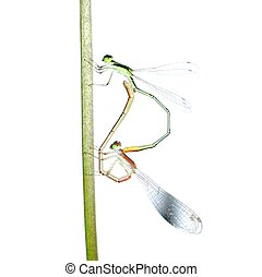 damselfly dragonfly mating isolated
