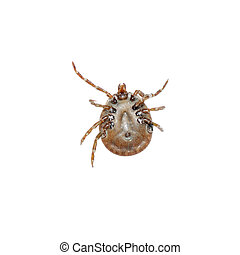 dog tick isolated