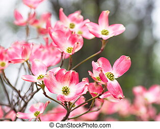 Pink Dogwood Blooms in a Spring Forest - Beautiful pink...