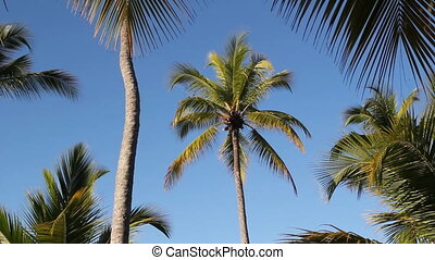 Palm tree - Palm tree framed by branches and fronds of other...