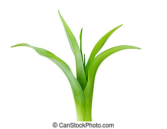 Lily Leaf - Young green lily leaves isolated on white